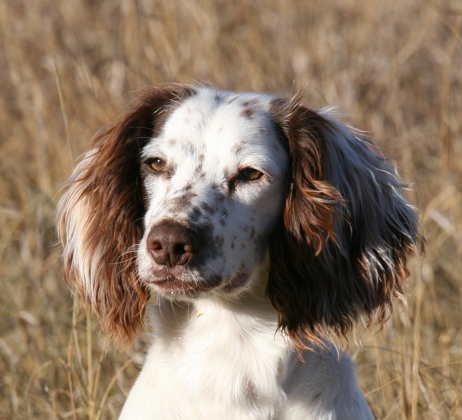 Can You Dna Test A Dog Welsh Corgi News Degenrative