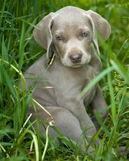 weimaraner dog puppies